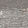 Herring Gull (right - immature) & Ring-billed Gull