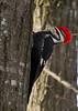 Pileated Woodpecker<br /> Hillandale Park, Harrisonburg