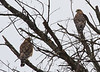 Red-shouldered Hawks<br /> Augusta County, 1-21-12