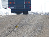 Eastern Meadowlark sneaks behind a parked bus filled with nuisance birders(!)<br /> Strickley Rd, Augusta County, 3/9/13