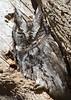 Eastern Screech Owl<br /> Rockingham County, 3/9/13