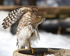 Cooper's Hawk<br /> Yard, Rockingham County, 3/8/13