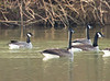 Cackling Goose (left) with Canada Geese<br /> Lake Shenandoah, 1-1-14