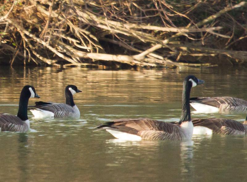 Cackling Goose with Canada Geese<br /> Lake Shenandoah, 1-1-14