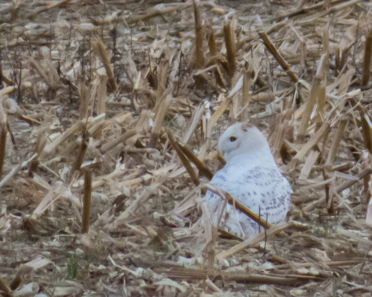 Snowy Owl<br /> Mt. Crawford/ Harrisonburg area, 12-28-13