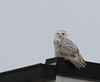 Snowy Owl @ White Wave, (intersection Rts. 11 & 257) Mt. Crawford<br /> 1-11-14