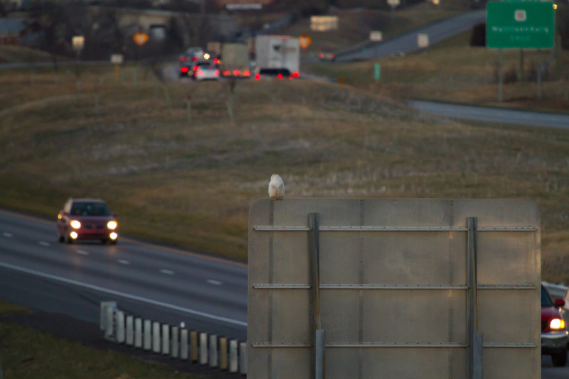 Snowy Owl<br /> Mt. Crawford/ Harrisonburg area, 12-27-13
