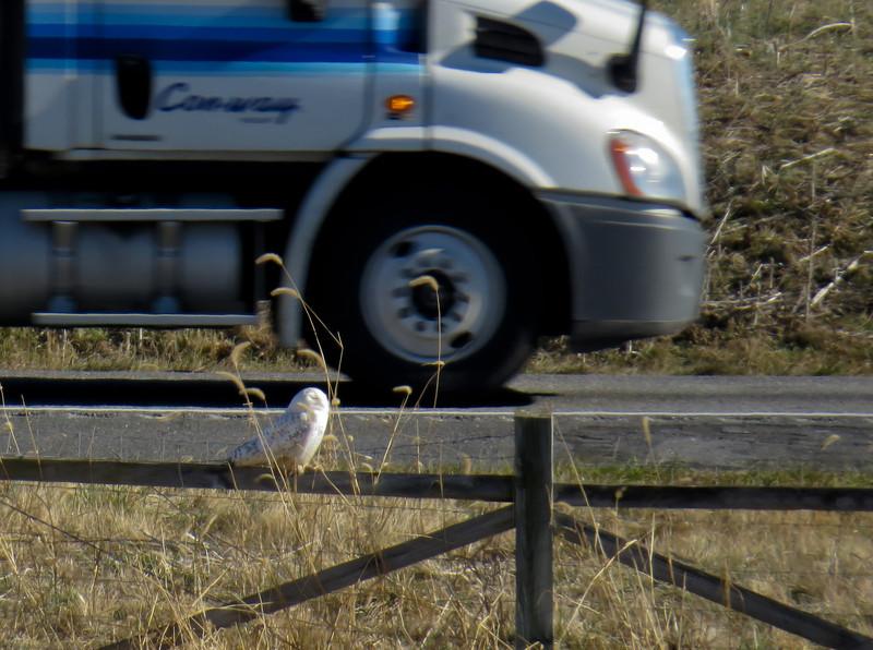 Snowy Owl<br /> Mt. Crawford/ Harrisonburg area, 12-27-13