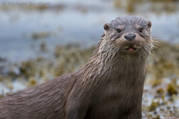 Shetland Otters