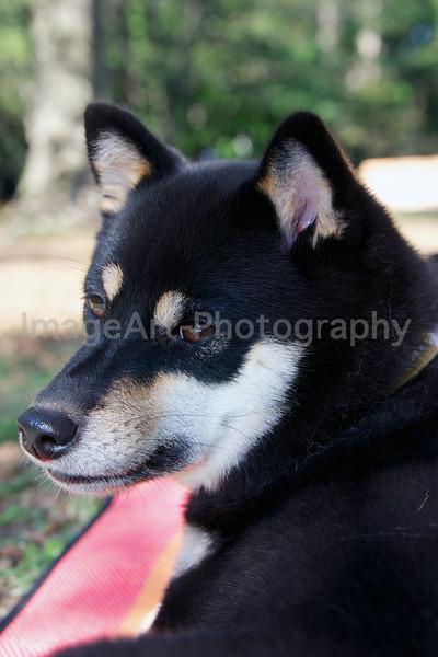 Black & Tan Shiba Inu Dog