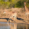 Shindzela - giraffes drinking