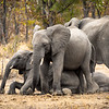 Elephants and calves.  Greater Kruger National Park, South Africa