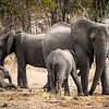 Elephants with calves, Timbavati, Greater Kruger National Park, South Africa