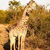 Giraffes standing tall
