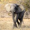 Elephant parading