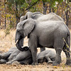 Elephants with sleeping calves