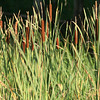 Southern Cattail