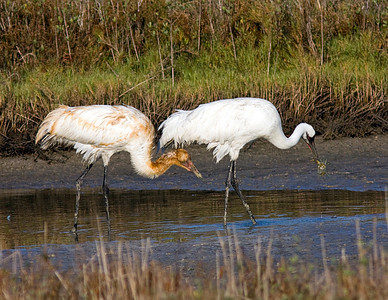 Whooping Cranes Aransas Bay 2009