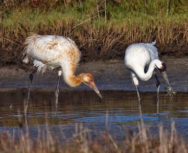 Adult and juvenile Whooping Cranes with catch for dinner. Aransas Bay 2009 aboard the Skimmer out of Rockport, TX.