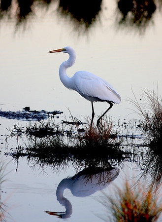 Egret reflection in water