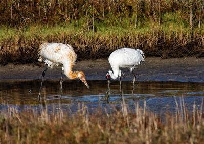 Adult Whooping Crane catching a crab for its juvenile offspring. Aransas Bay January 2009