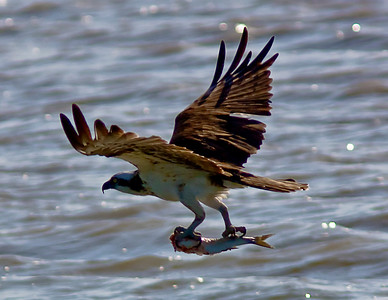 Captured this Osprey with its lunch in Aransas Bay January 2009