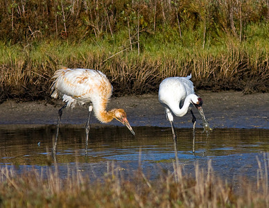 Whooping Crane adult catching a crab for juvenile by side at Aransas Bay 2009