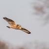Short-eared owls 25 Jan 2018-2172