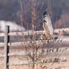 Short-eared owls 25 Jan 2018-2147