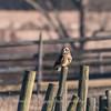 Short-eared owls 25 Jan 2018-2209