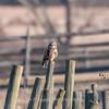 Short-eared owls 25 Jan 2018-2204