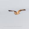 Short-eared owls 25 Jan 2018-2169