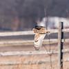 Short-eared owls 25 Jan 2018-2149