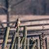 Short-eared owls 25 Jan 2018-2177