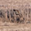 Short-eared owls 25 Jan 2018-2130