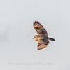 Short-eared owls 25 Jan 2018-2152