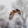 Short-eared owls 25 Jan 2018-2155