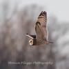 Short-eared owls 25 Jan 2018-2156