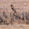 Short-eared owls 25 Jan 2018-2131