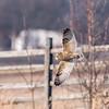 Short-eared owls 25 Jan 2018-2148