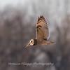 Short-eared owls 25 Jan 2018-2157