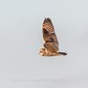 Short-eared owls 25 Jan 2018-2151
