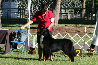 Mystery (Magic's Livin For Mystery) owned by the stud dog owner and out of our Liv x Tchoum breeding.  Mystery is a littermate to Hummer and Rosie.