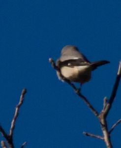 Northern Shrike: Augusta County, Virginia