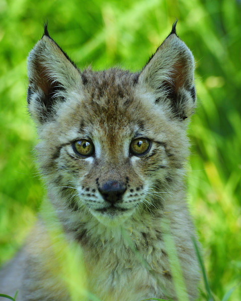 Dora the Siberian Lynx Kitten at about 8 weeks