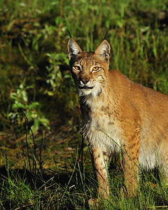 Toby, a Siberian Lynx is 3 years old