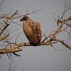 A vulture waits.