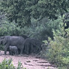We spotted this small herd of elephant in the dry riverbed -- the Manyeleti -- that runs in front of the Simbambili Game Lodge.  It is 5:30 in the morning and we are about to leave on the morning game drive.