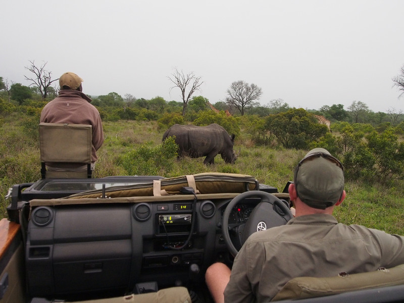 The rhino grazes as we watch.  Note the giraffe in the background just above the rhino's head.