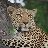 A young female leopard rests in a tree